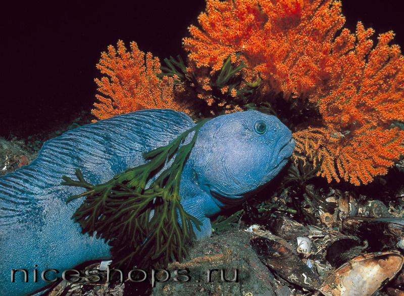 Ryby-severnyh-korallovyh-rifov
