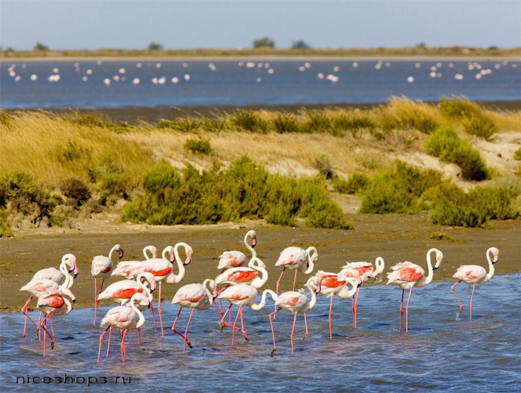 Rozovye-flamingo-na-beregu-solenogo-ozera