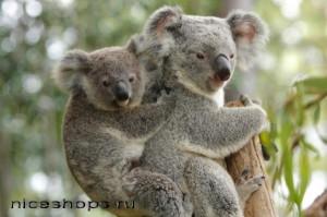 sumchatye-avstrlijskie-jivotnye-zagadochnyj-koala