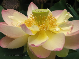 cvety-simvoly-stran-i-narodov