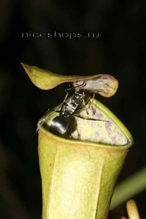 Nepenthes-rastenie-hischnik