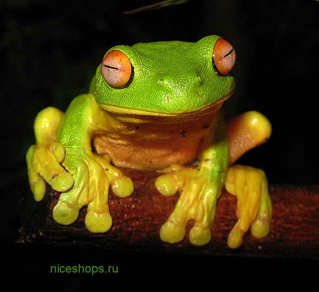 Red-eyed-Tree-Frog-Litoria-chloris