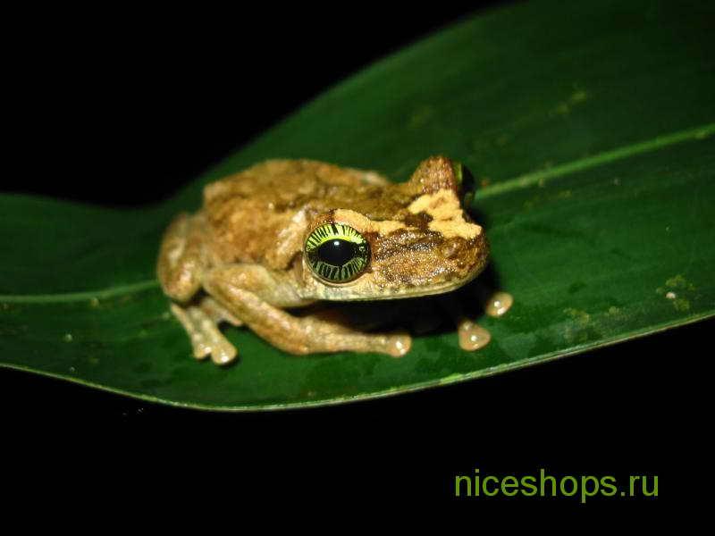 drevesnaya-lyagushka-Osteocephalus-heyeri-tropicheskie-lesa-amazonki