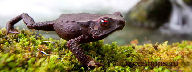 red-eyed-toad