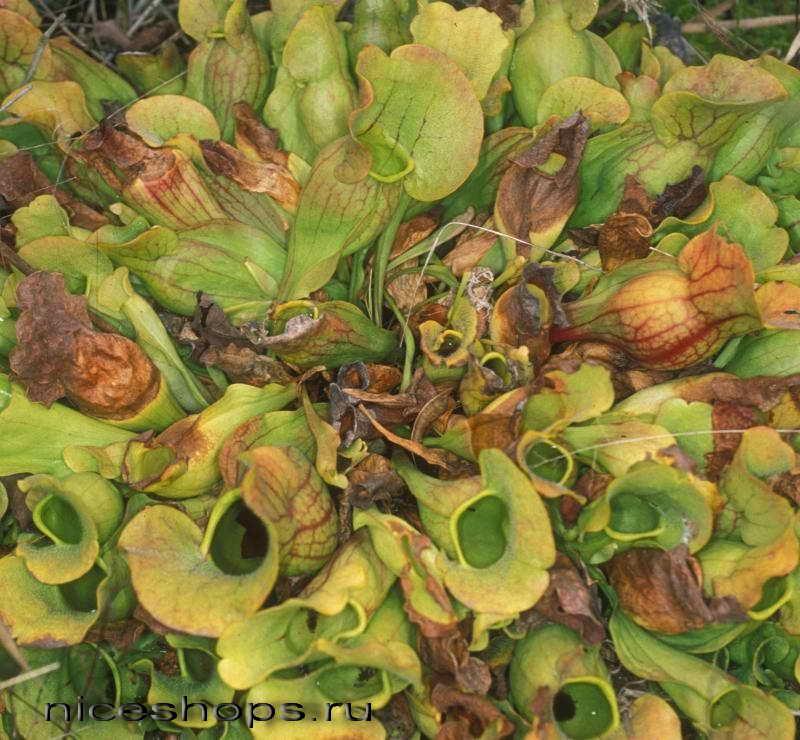 sarracenia-purpurea-cvetok-hischnik