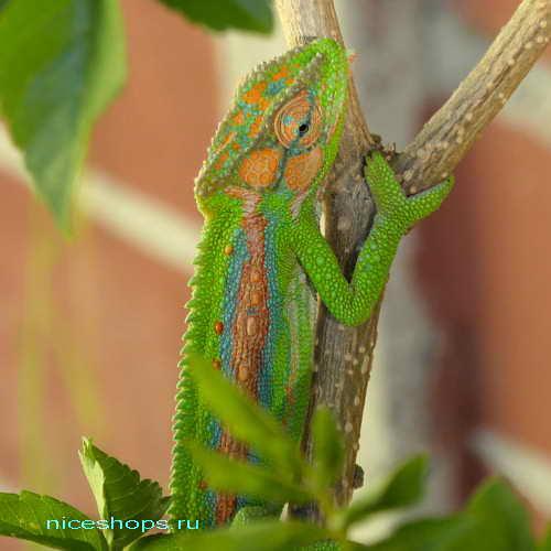 baby-chameleons-afrika