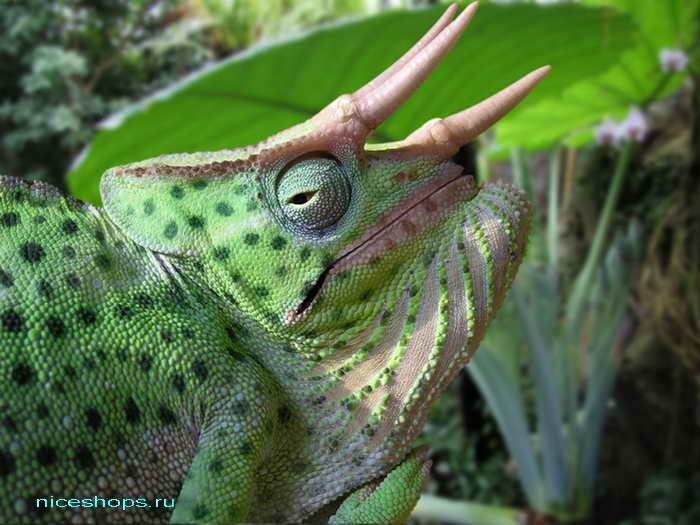 jacksons-chameleon-kak-menyaet-cvet