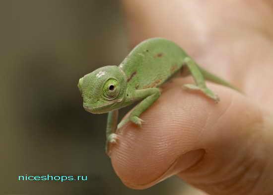 samyj-malenkij-hameleon-v-mire-madagaskar