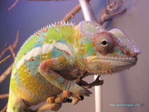 pochemu-hameleon-menyaet-cvet