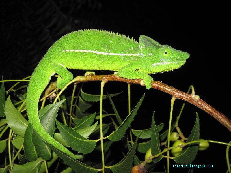 novyj-vid-hameleona-Belalanda-madagaskar
