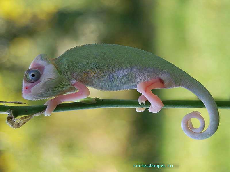 zachem-hameleon-menyaet-cvet