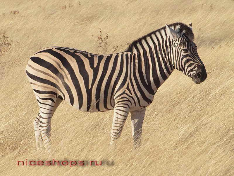 burchellova-zebra-foto-jivotnyj-mir-afriki-1