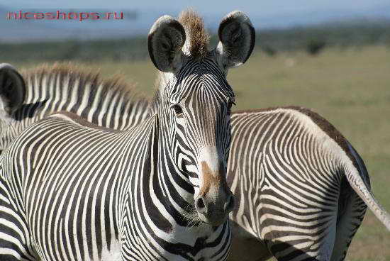 grevy-zebra-foto-jivotnyj-mir-afriki-1