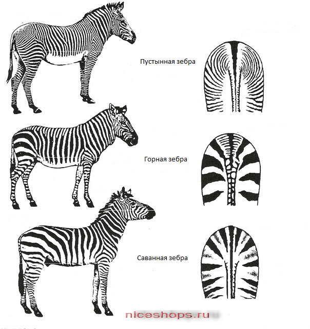 vidy-zebry-jivotnyj-mir-afriki-1