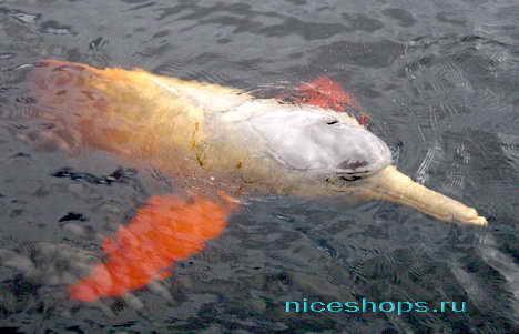 Розовый дельфин из реки Амазонки