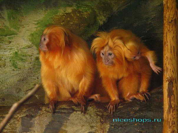 Золотой тамарин из тропических лесов реки Амазонки