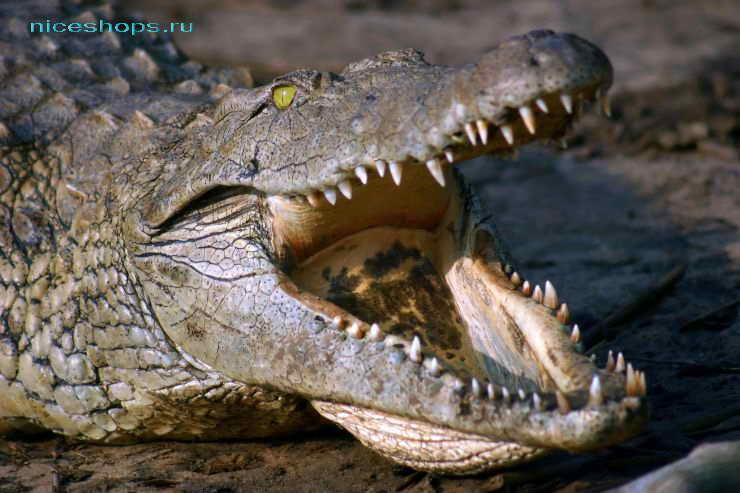 Крокодилы реки Нил