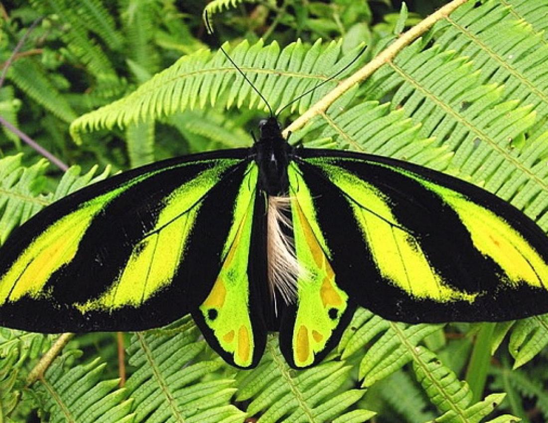 Бабочка орнитоптера королевы Александры