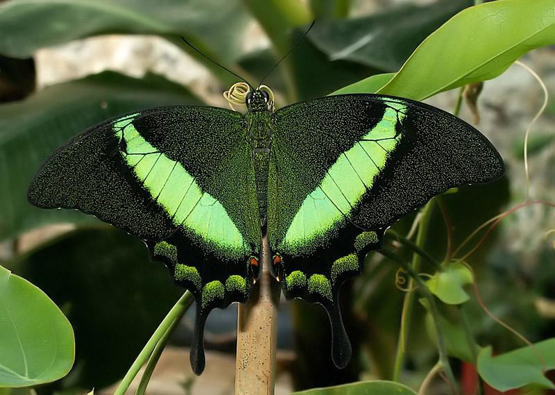 Бабочка Парусник Маака
