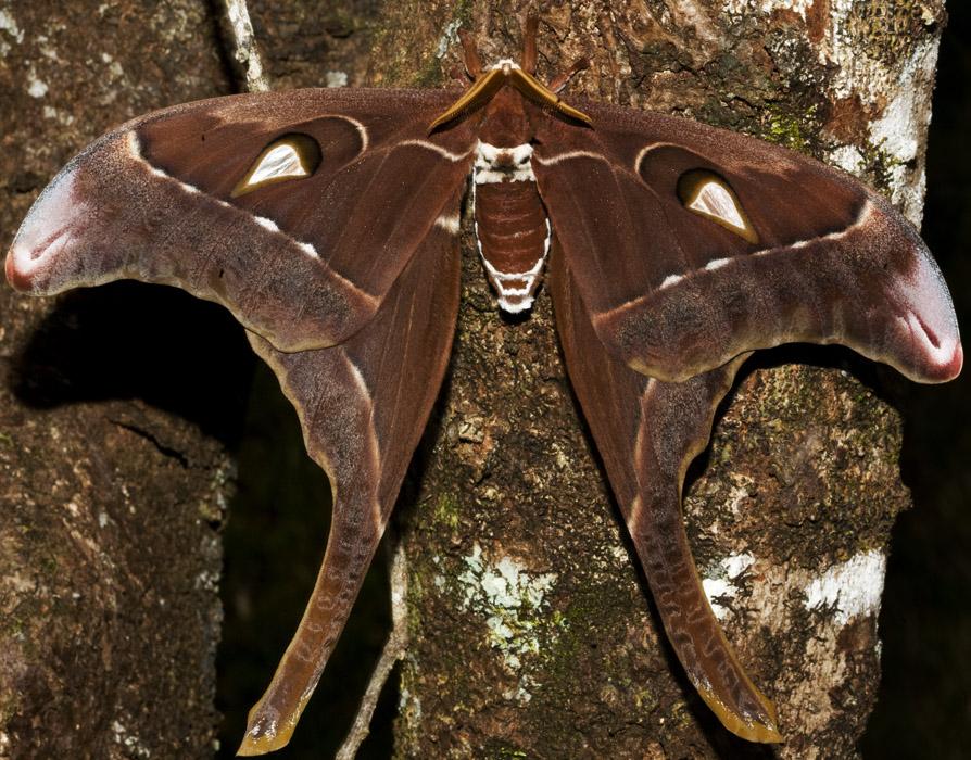 Бабочка сатурния геркулес