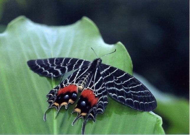 Бабочка слава Бутана