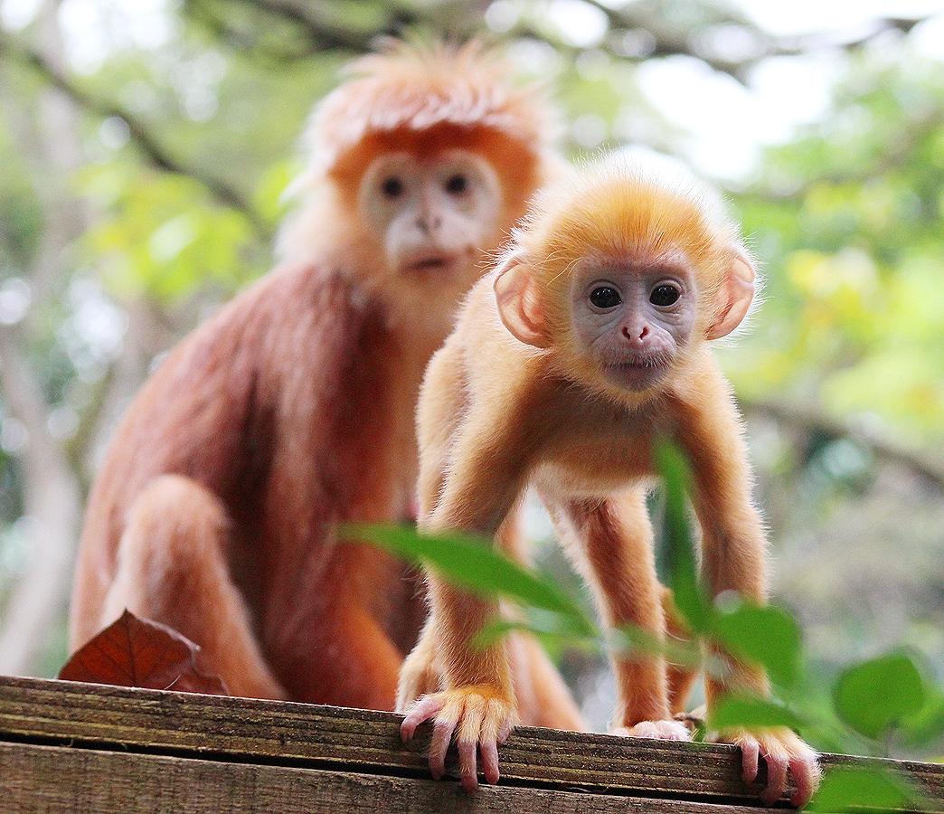 Про обезьяну тонкотел