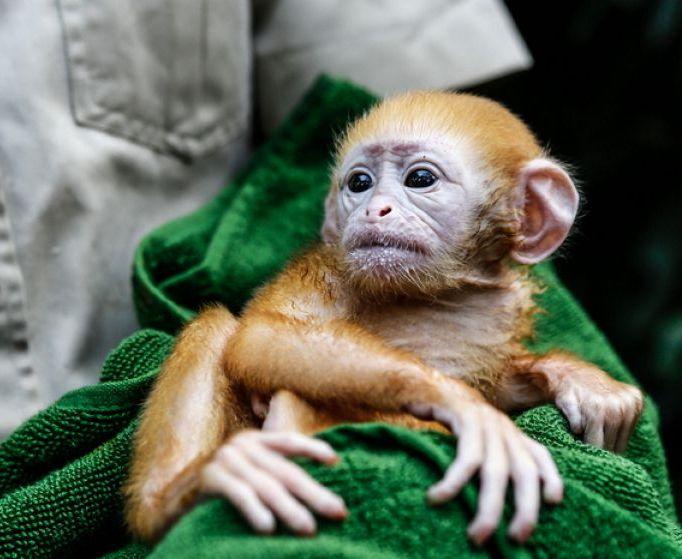 Про обезьяну тонкотел с детенышем