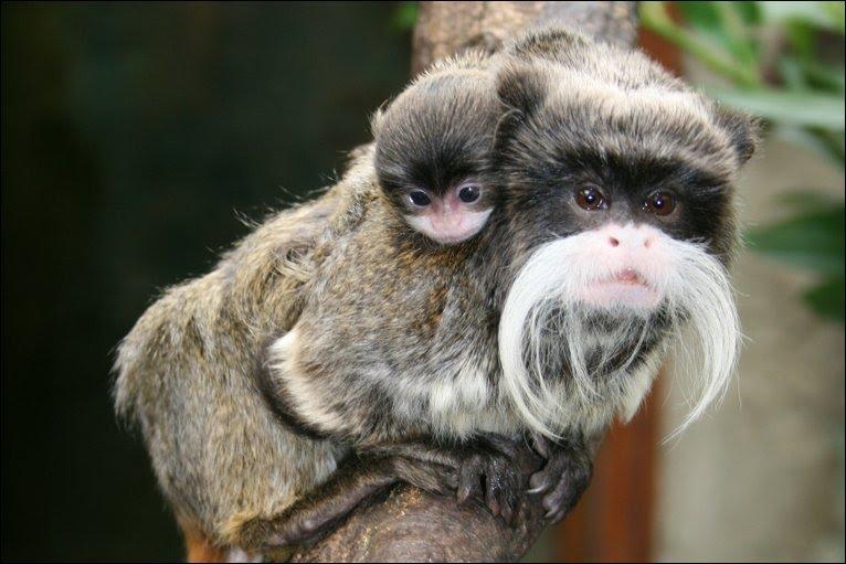 Про обезьяну императорский тамарин
