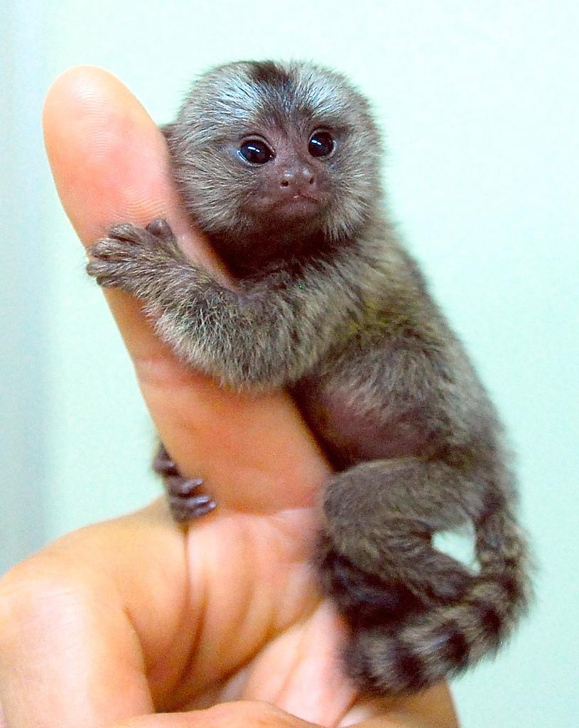 Про обезьяну карликовую игрунку, самую маленькую в мире