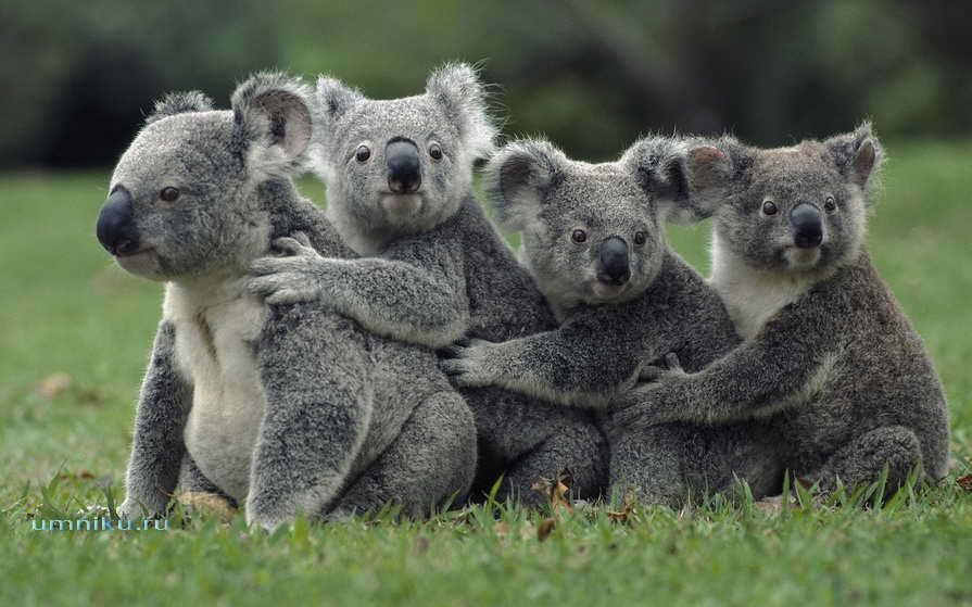 Сумчатое животное коала