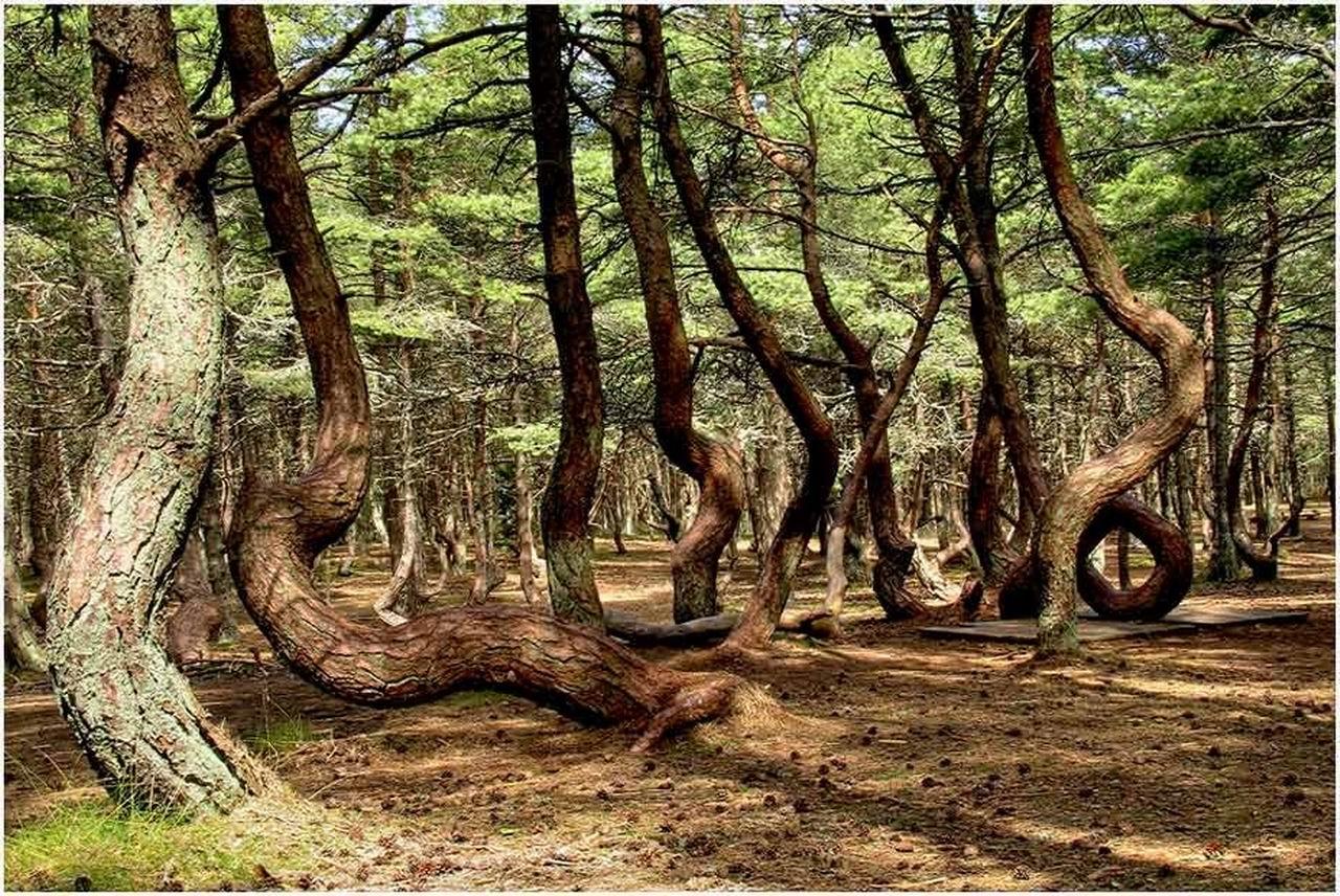 Пьяный лес Куршской косы