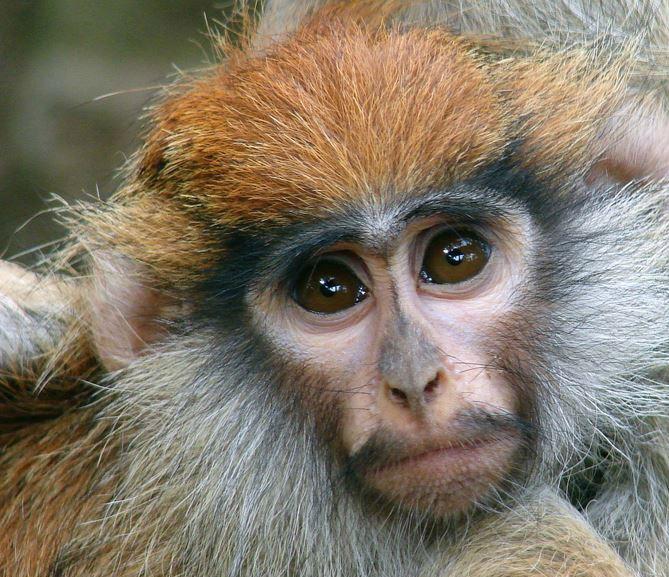 Детеныш обезьяны гусара