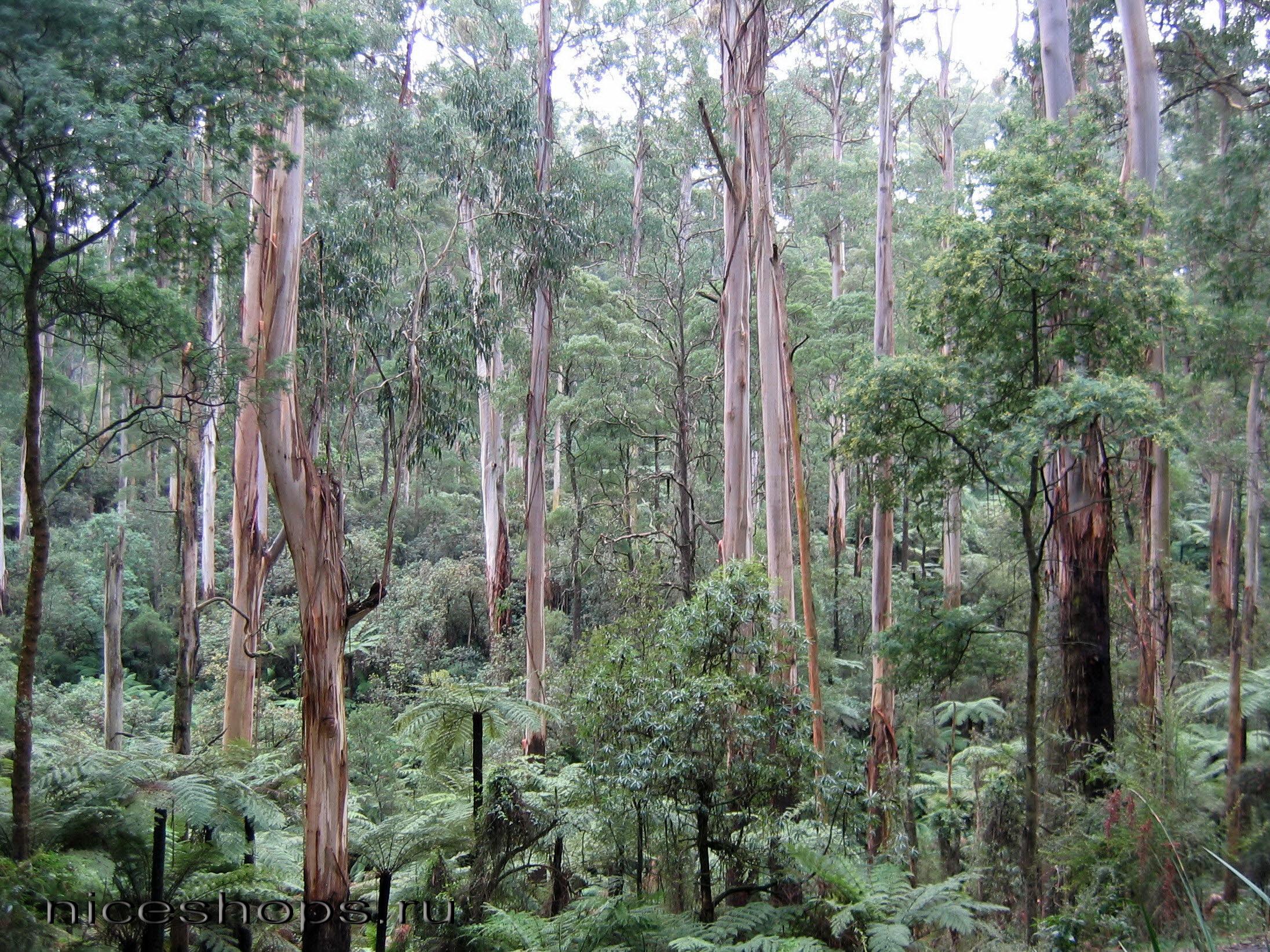 Tropicheskie-lesa-Avstralii-jevkalipt-korolevskij