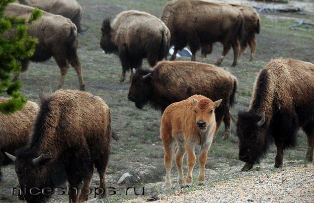 Fauna-nacional'nogo-parka-Jelloustoun-v-SShA