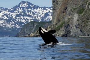 Kosatka-v-Arktike