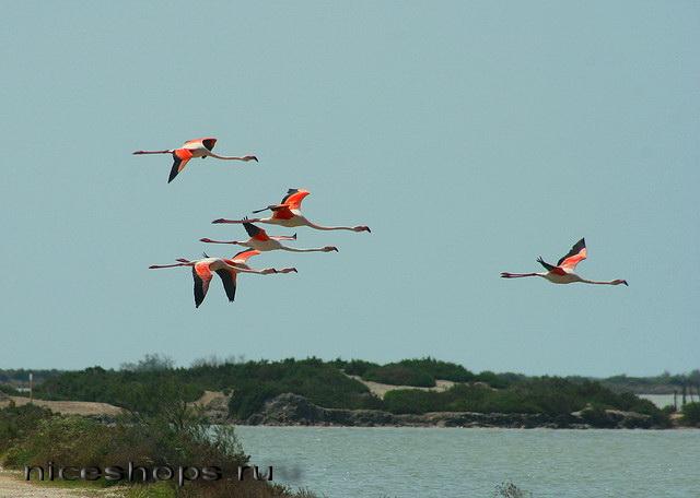 Rozovye-flamingo-na-solenom-ozere-v-Avstralii