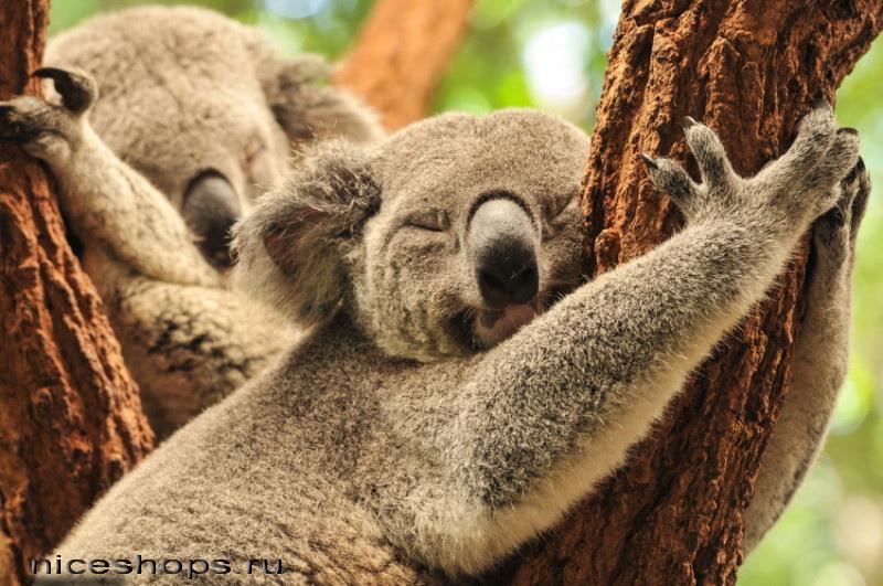 koala-medved