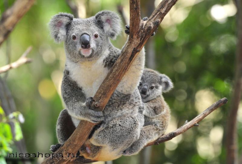 koala-samka-s-detenyshem