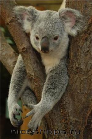 koala-sumchatoe-jivotnoe