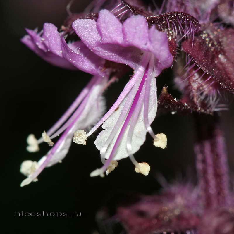 Basilik-cvety