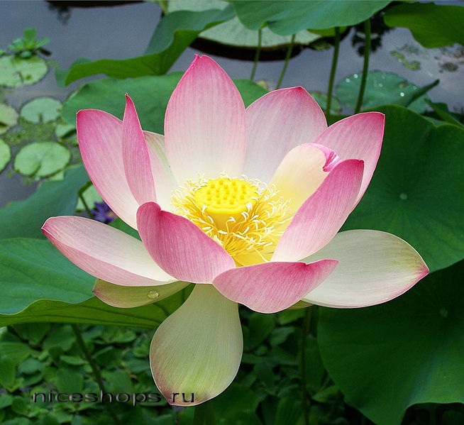 lotus-Nelumbo-nucifera