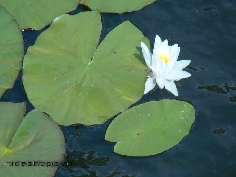vodyanaya-liliya-simvol-buddizma