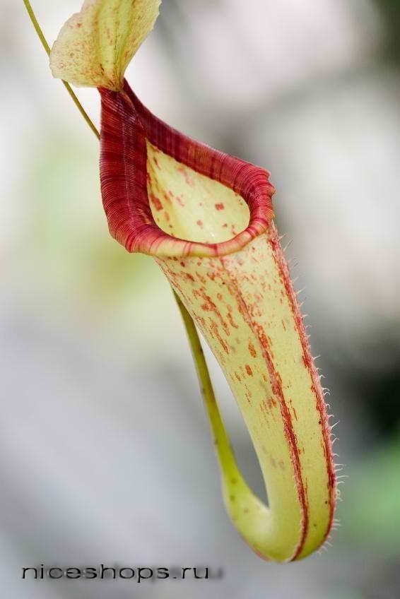 Nepenthes-hischnoe-rastenie