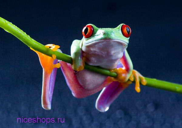 Red-Eyed-Frog