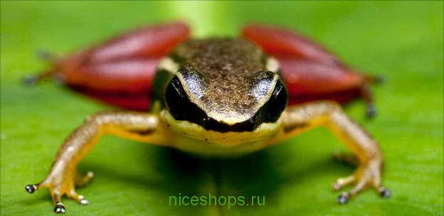 rocket-frog
