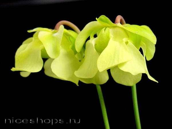 sarracenia-cvetok-hischnik