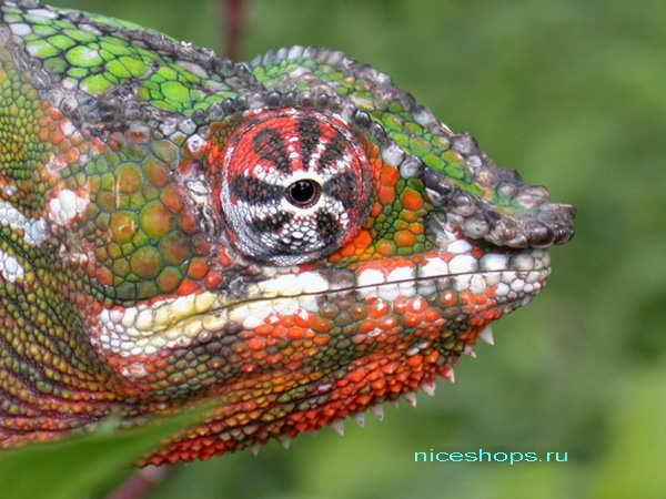 Panther-hameleon-Furcifer-pardalis