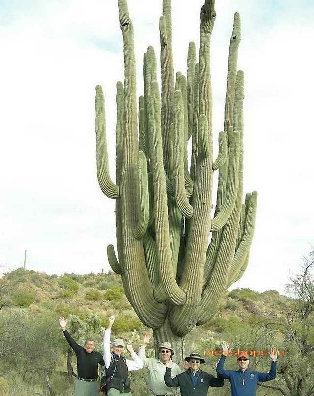 bolshye-canyony-ameriki-kaktus-saguaro-simvol-arizona-usa