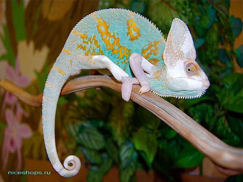 breeder-hameleon-osobennosti-vneshnego-vida