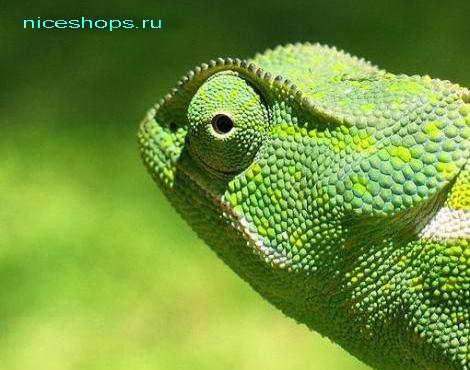 chameleo-dilepis-botswana